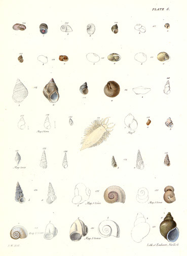 Sea Snails by John William Hill(American Print)