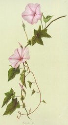Indigenous Flowers of Hawaii: Koali-Ai by Francis Isabella Sinclair