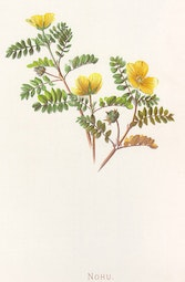 Indigenous Flowers of Hawaii: Nohu by Francis Isabella Sinclair