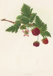 Indigenous Flowers of Hawaii: Akala by Francis Isabella Sinclair