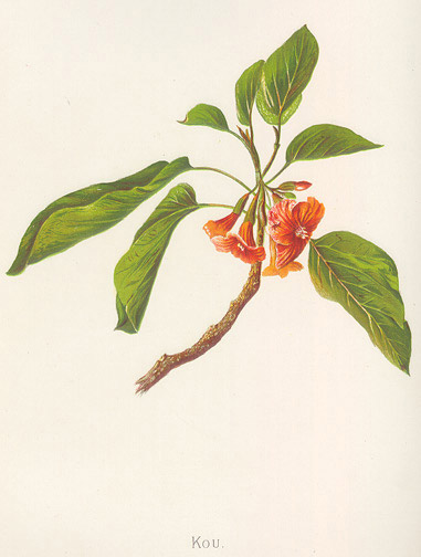 Indigenous Flowers of Hawaii: Kou by Francis Isabella Sinclair(Hawaiian Print)