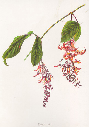 Indigenous Flowers of Hawaii: Nukuiwi by Francis Isabella Sinclair(Hawaiian Print)