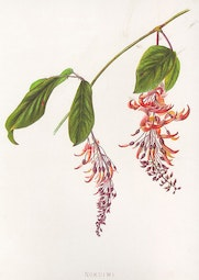 Indigenous Flowers of Hawaii: Nukuiwi by Francis Isabella Sinclair