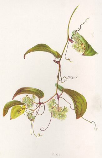 Indigenous Flowers of Hawaii: Pioi by Francis Isabella Sinclair(Hawaiian Print)