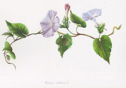 Indigenous Flowers of Hawaii: Koali-Awahia by Francis Isabella Sinclair