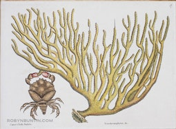 Cancer Chelis Rubris; Titanokeratophyton &c. by Mark Catesby