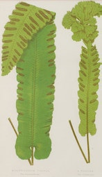 Fern Botanical