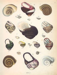 Sea Snails by John William Hill