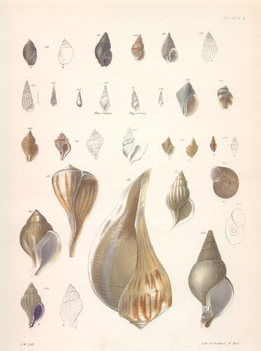 Shells by John William Hill(American Print)