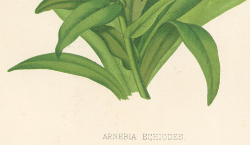 Arnebia Echiodes Prophet's Flower(Middle Eastern Print)
